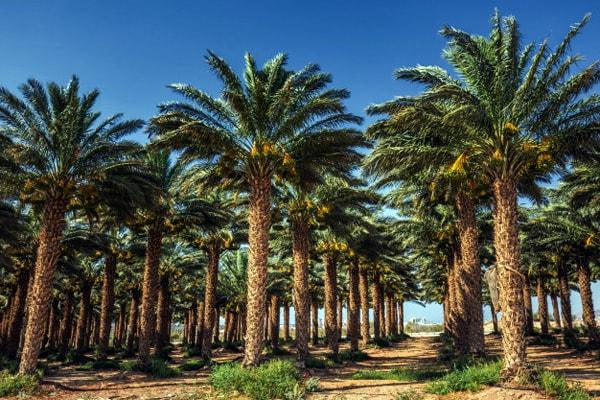 Израиль финиковые плантации